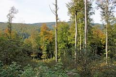 Durch die Kinderstube kleiner Buchen unter dem lichten Blätterdach der über 100jährigen führt der Weg hinab ins Tal.